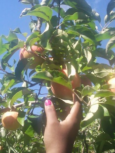 Apple Picking Photo - 1