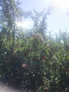 Apple Picking Photo - 2